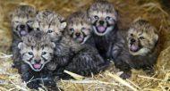 bebes-guepards