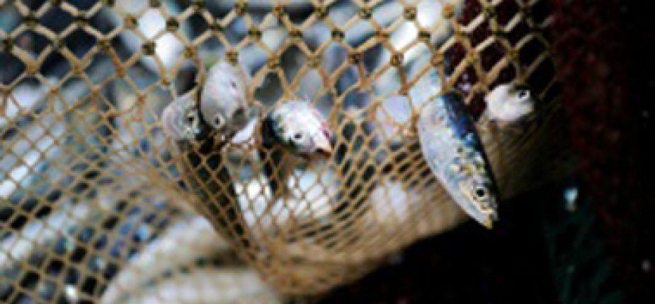 25% des captures de poissons dans le monde réduits en farine et en huile selon l'ONG Bloom  © AFP/Archives JEAN-SEBASTIEN EVRARD
